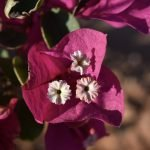 Close-Up-Magenta-Bougainvillea-Morocco