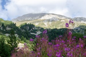 Magenta Flowers Pirin National Park