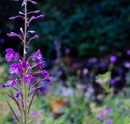 Fire Weed of Bulgaria
